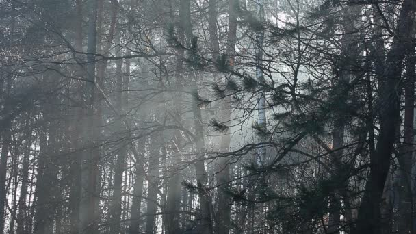 gyönyörű napsugarak, fenyves erdőben, Lengyelország
