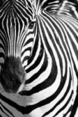 Zvířecí zebre portrét