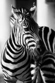 Zebra, serengeti národní park, Tanzanie, východní Afrika