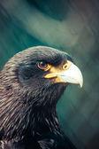 Adler aus nächster Nähe