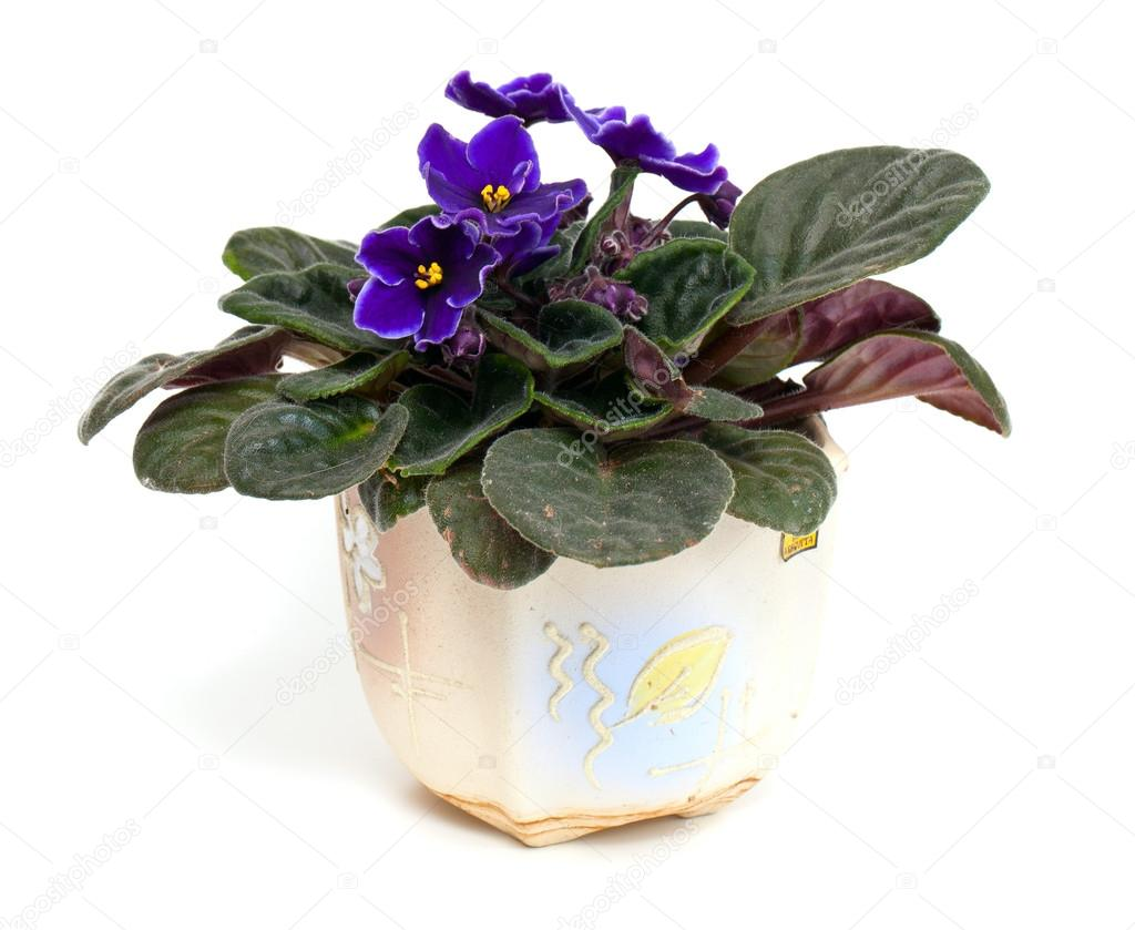 Violet Bloem In Pot Stockfoto C Dianazh 46766867