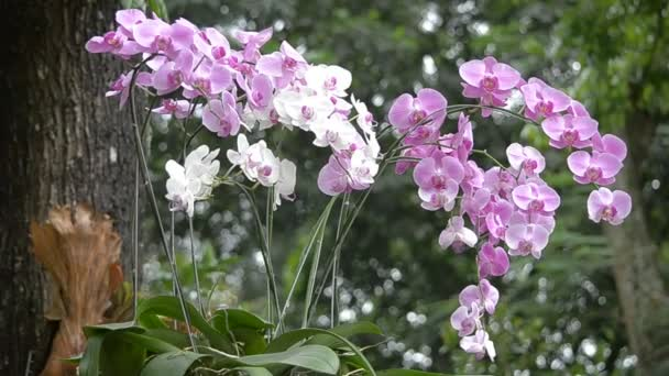 Purple and white dendrobium orchid
