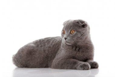 kitten Scottish lop-eared isolated on white