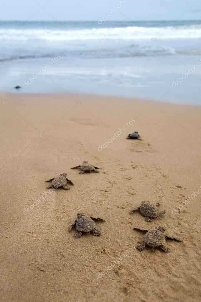 Baby turtles making it's way to the ocean