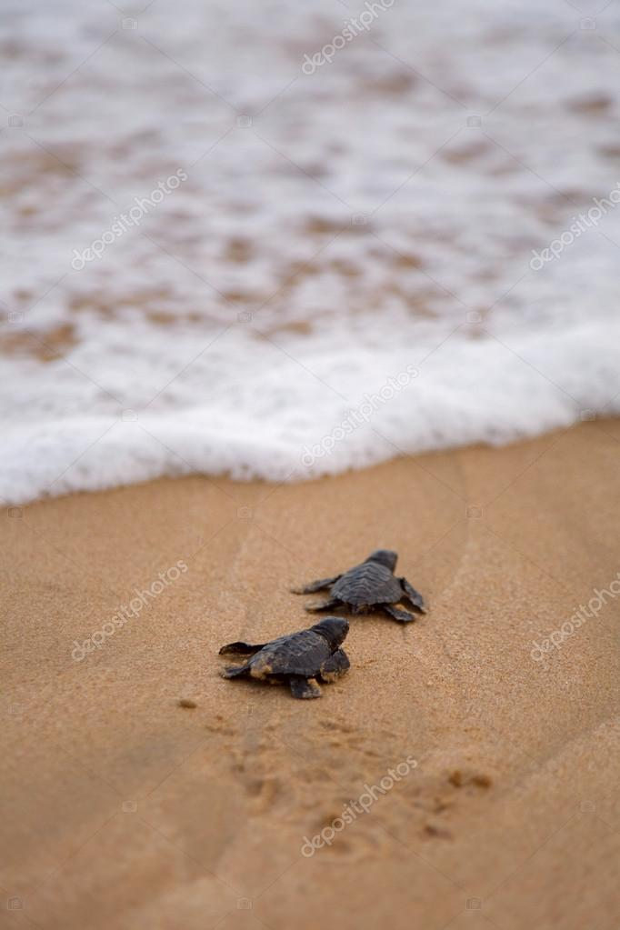 Baby turtles making its way to the ocean stock photo foryouinf baby turtles making its way to the ocean stock photo publicscrutiny Image collections