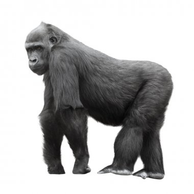 Silverback gorilla isolated on white