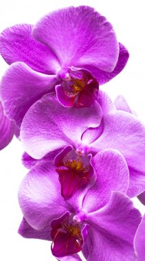 Purple orchid flowers close up on white