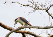 The young falcon sits on a branch and eats a lizard