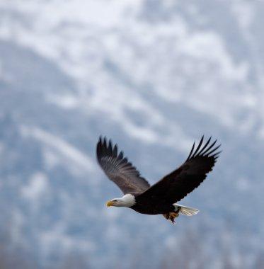 """Картина, постер, плакат, фотообои """"белоголовый орлан"""", артикул 38283093"""