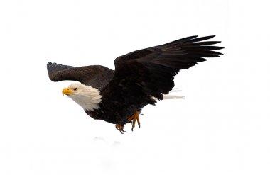 Diving bald eagle