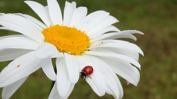 Camomile and ladybug