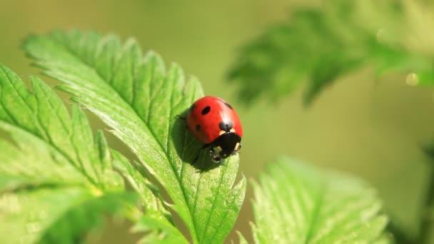 Ladybug on the leaf