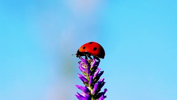 Ladybug on the flower