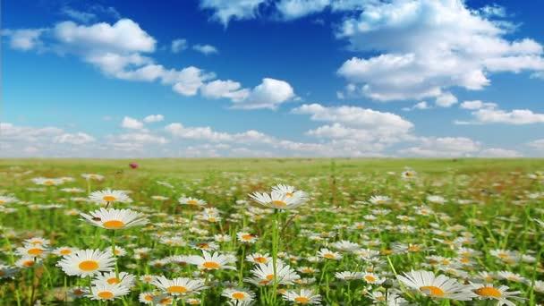 Heřmánek květiny pole