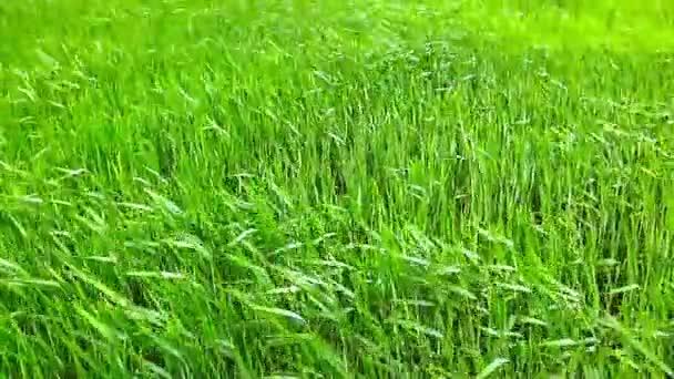 nyári fű