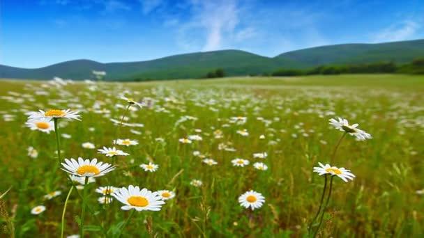 Kamilla virág mező