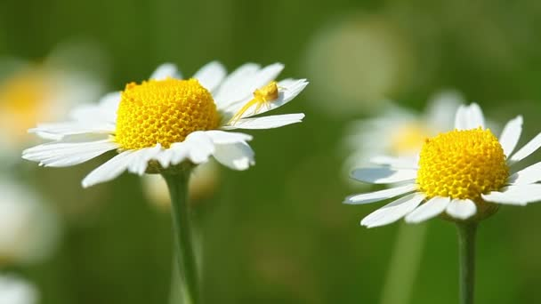 Chamomile flower with spider