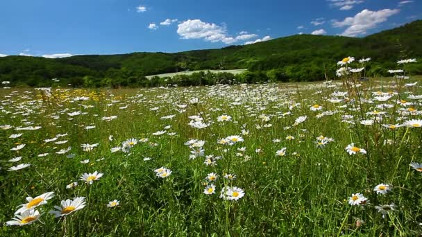 Chamomile flowers field Royalty Free Stock Footage