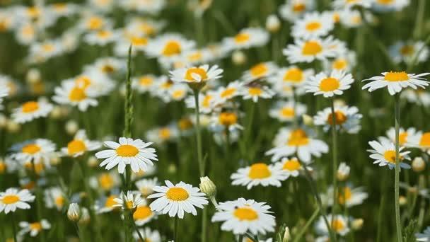Chamomile flowers field