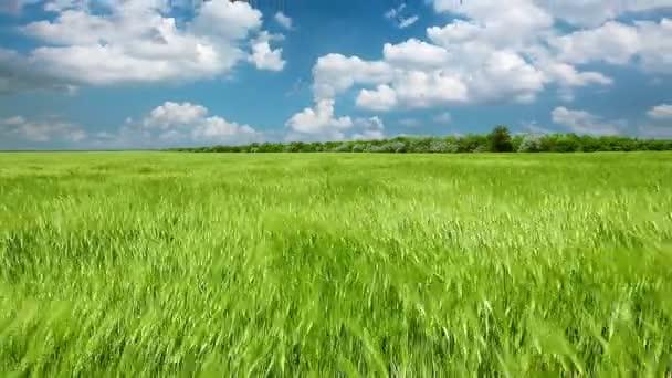 pole zelená pšenice