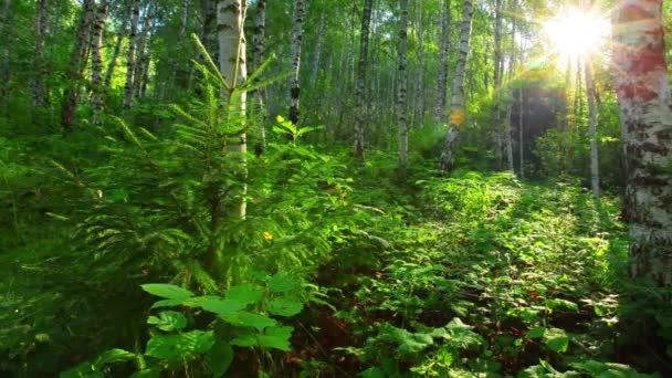 nyír-erdő