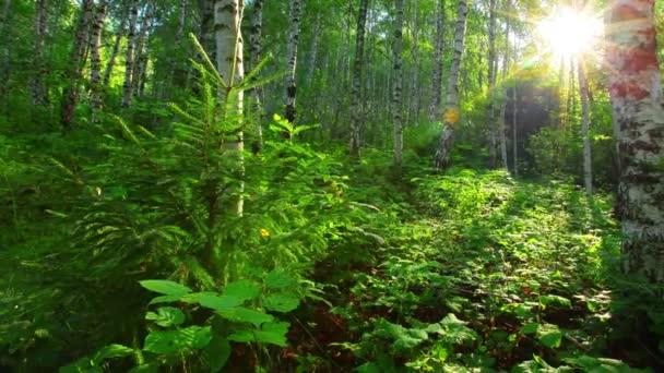 březový les