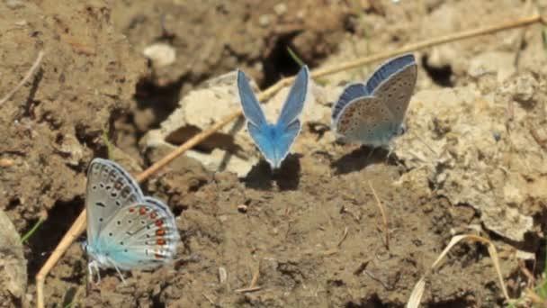 Blue moths
