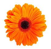 Fotografie květina oranžová gerbera