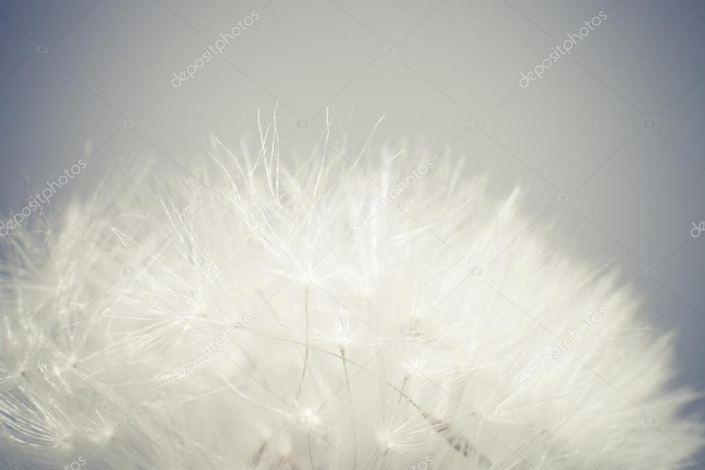 Macro photo dandelion seeds. Selective focus, cross-processed.