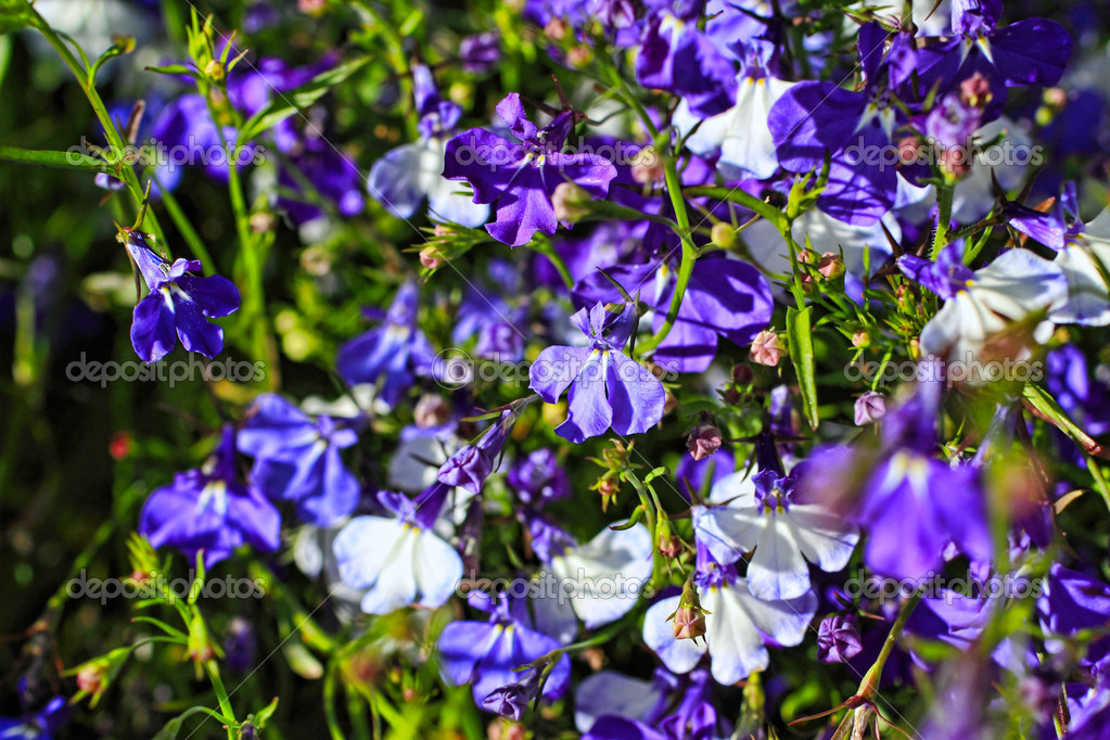 schöne blaue und weiße Lobelie Blumen — Stockfoto © Julietart #12850614