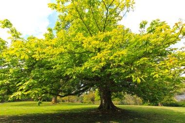 Springtime, green chestnut tree