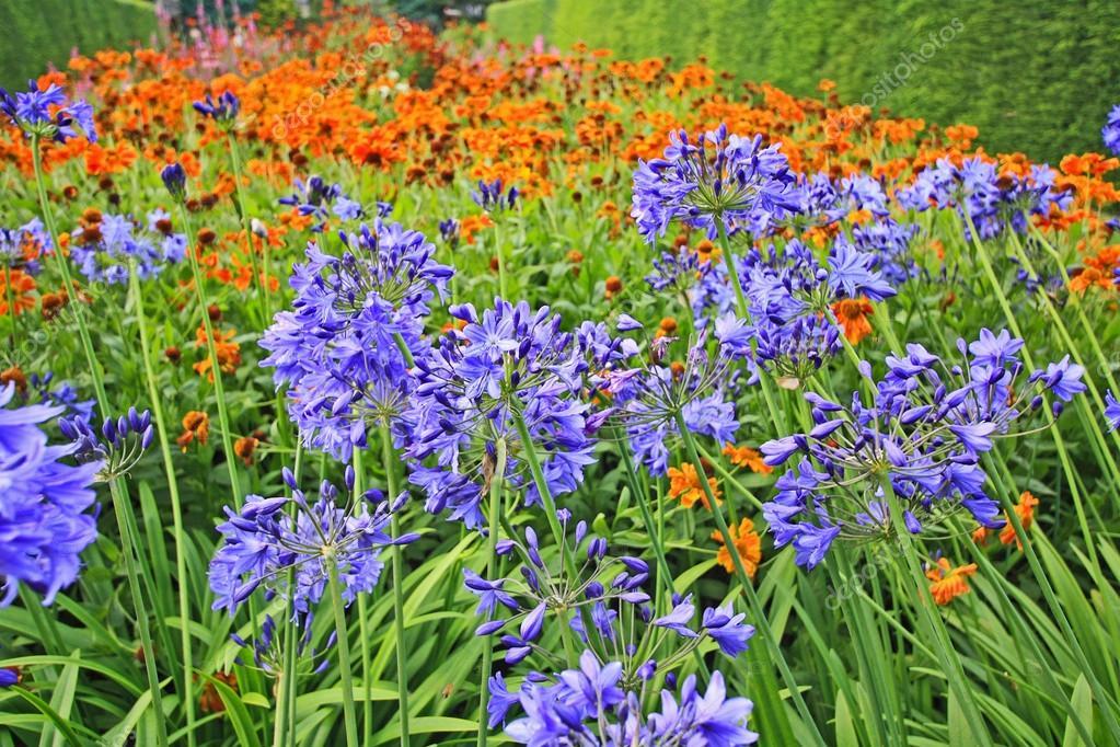 schöne blaue Alium, Gartenblumen — Stockfoto © Julietart #19820285