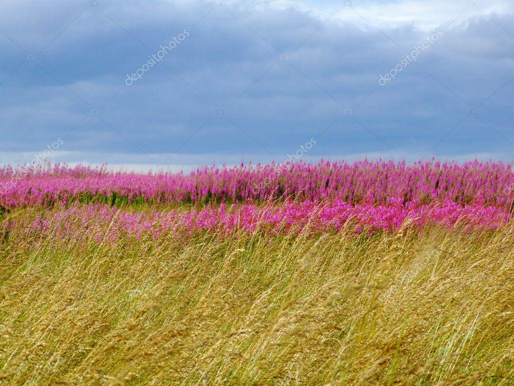 Bel prato di fiori di campo rosa — Foto Stock © Julietart #24175523