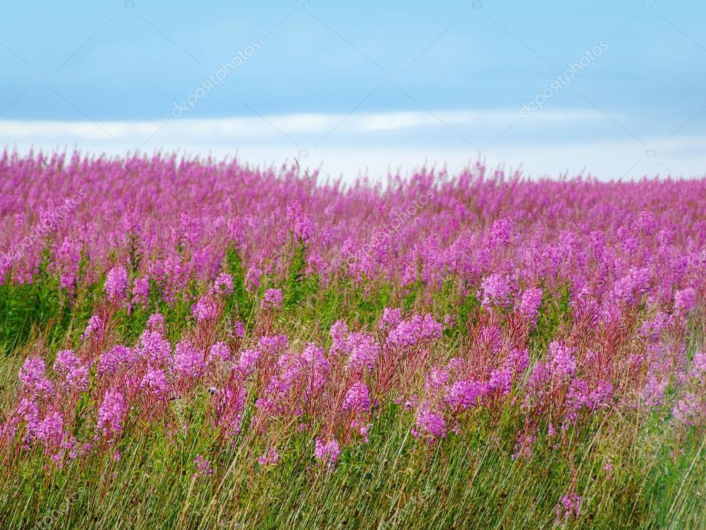 Belle prairie de fleurs sauvages roses — Photographie Julietart © #24175541