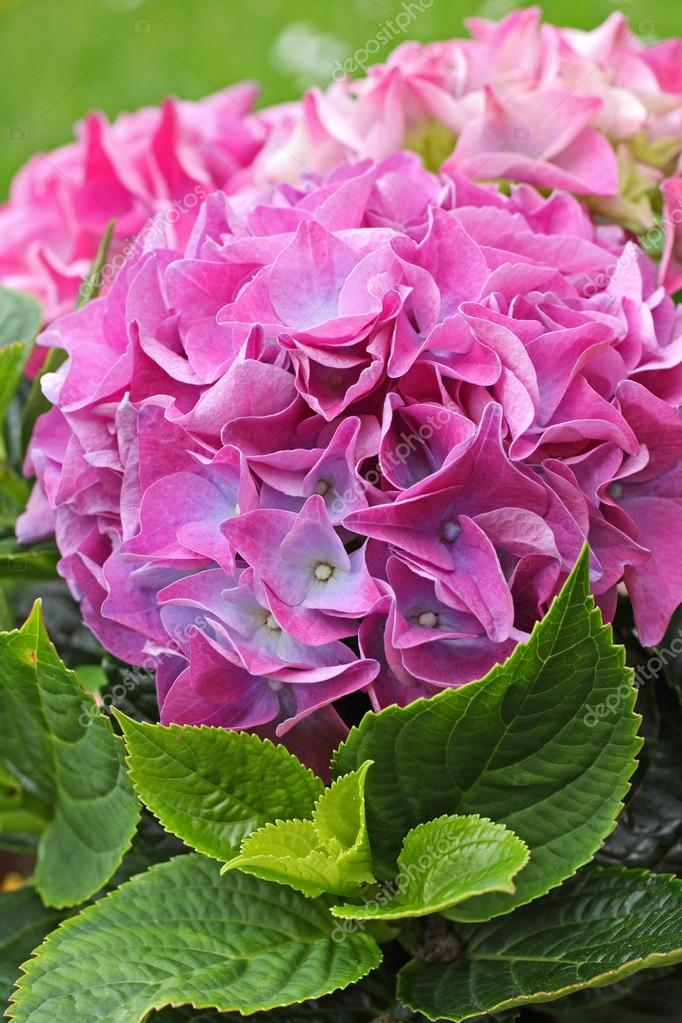 Beautiful hydranea flowers close up