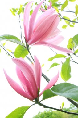 Beautiful magnolia blossom in spring time