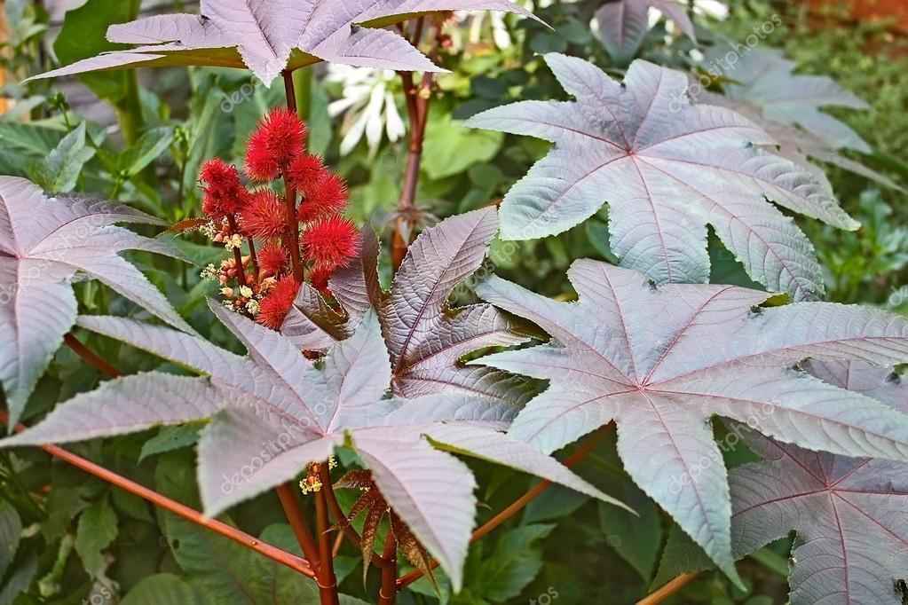 Castor Bean plant flowering