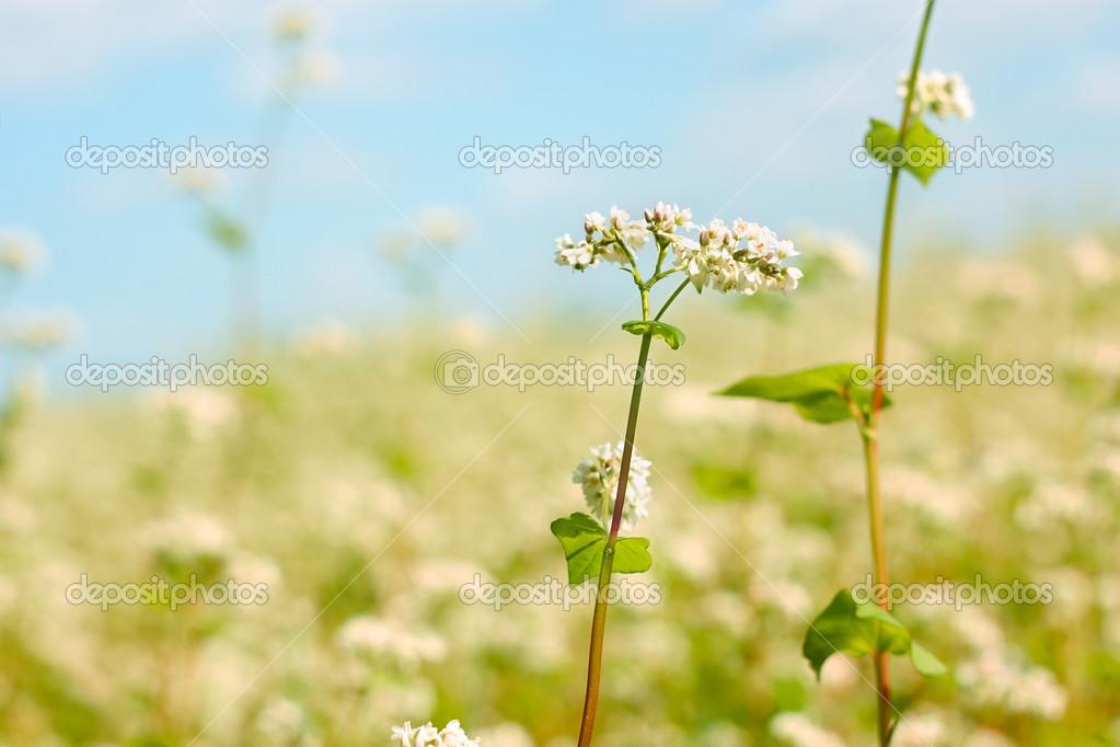 Buckwheat flower above field
