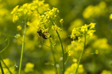 Bee and Mustard Flowers