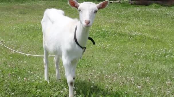 bílá koza v létě zelené trávy