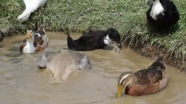 a tó-hoz iszik víz futás kacsa csoportja.