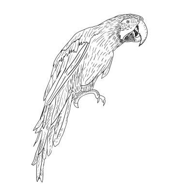 Macaws. Vector illustration.