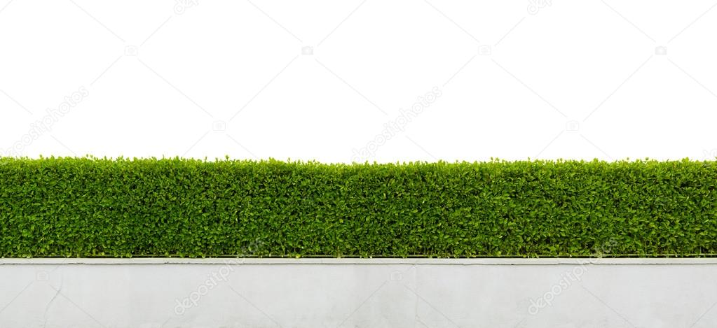 Hedge isolated on white