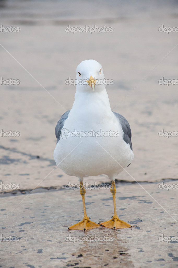 one sea gull front view