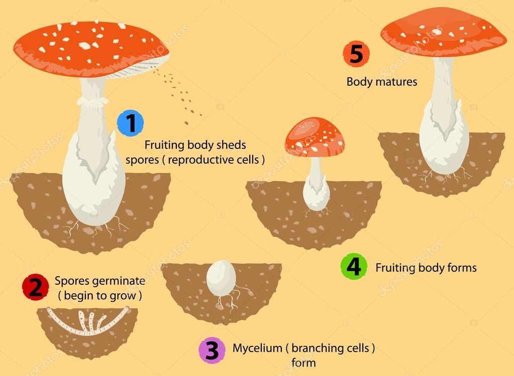 Fungi life cycle