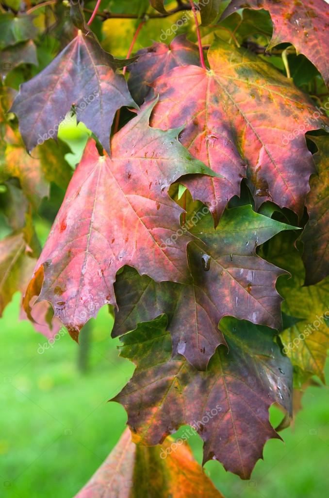 Colorful leaves maple in autumn, close-up