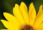 Fotografie Slunečnice pozadí