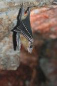 Fotografia pipistrello marrone, vista da una parte anteriore