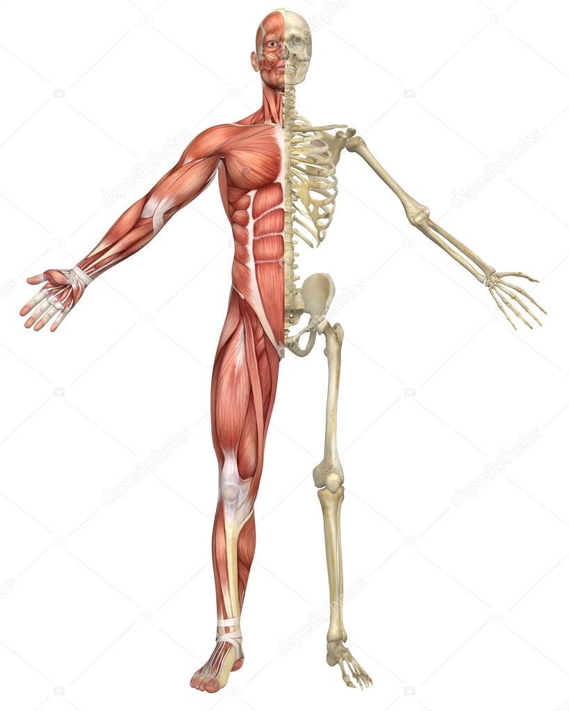 Male Muscular Skeleton Split Front View