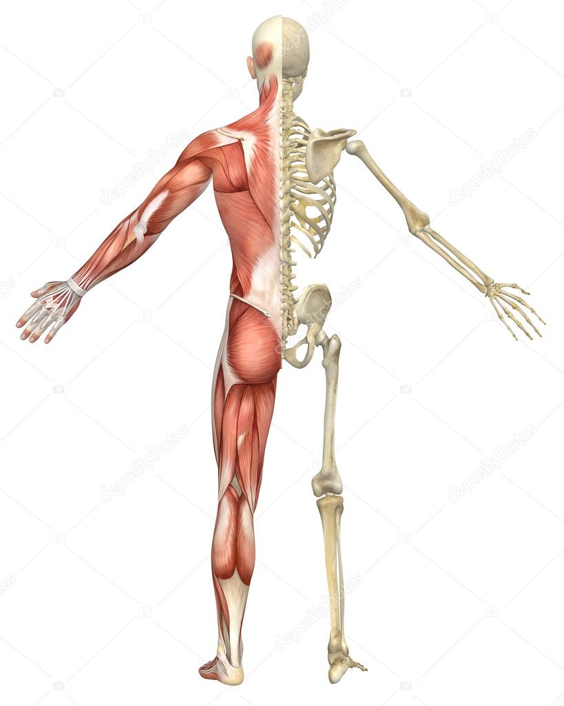 Diagram Of Skeletal And Muscular Systems Split Auto Electrical